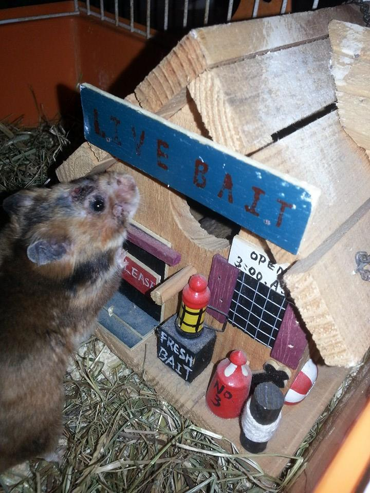 hamster herido